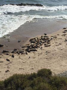 Santuario de focas en Carpinteria, CA 2015